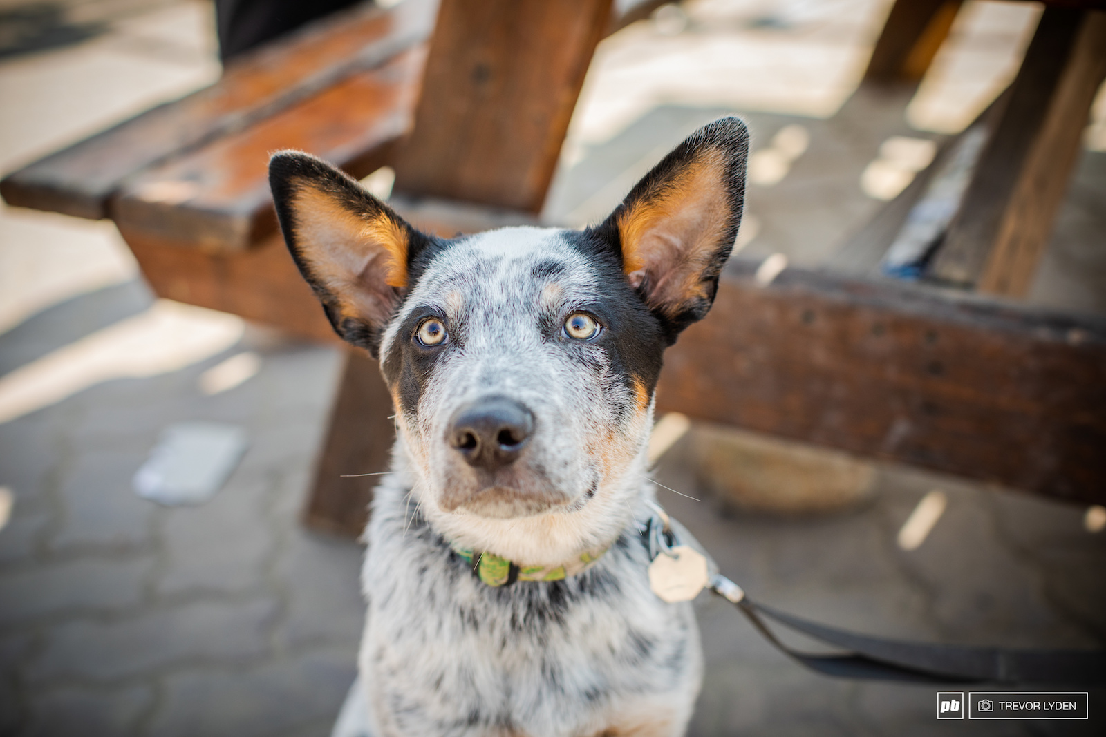 Name Ender Breed Australian Cattle Dog Age 3 months Hometown Boulder City Nevada Fun Fact Ender is no stranger to mountain biking and watching big freeride lines. She actually came from the old Rampage site