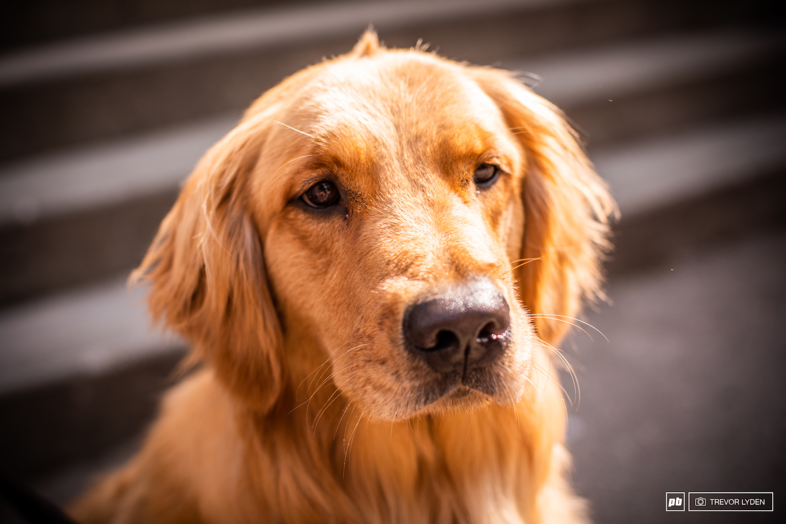 Name Mabel Breed Golden Retriever Age 2 years Hometown Portland Oregon Fun Fact Mabel has experimented with many different hair styles but after much deliberation has settled on the punk rock mohawk look.