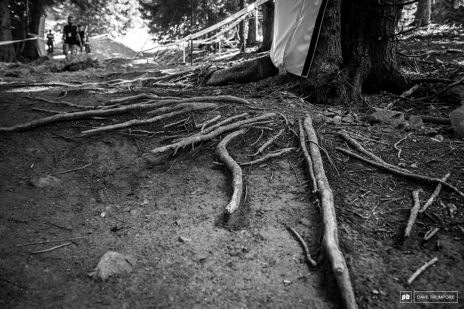 As the track has worn the big roots have come through.