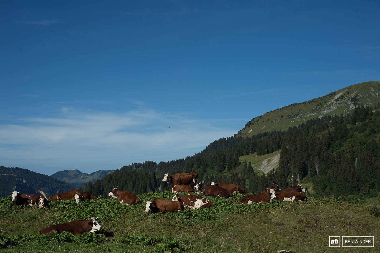There s some pretty happy cow s living around the bikepark.