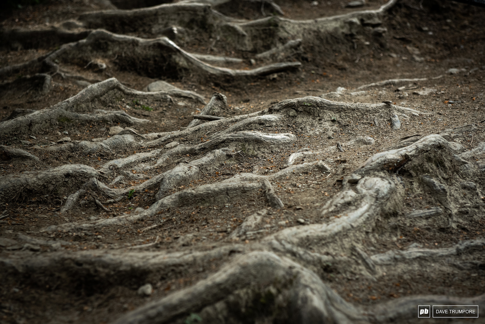 There are still plenty of roots ion Leogang and more will surely appear in the fresh cut sections.
