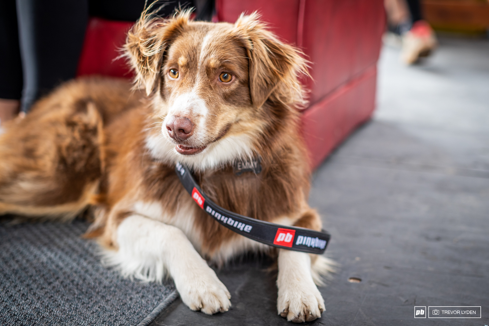 Emmy showing off her new Pinkbike branded collar and leash.