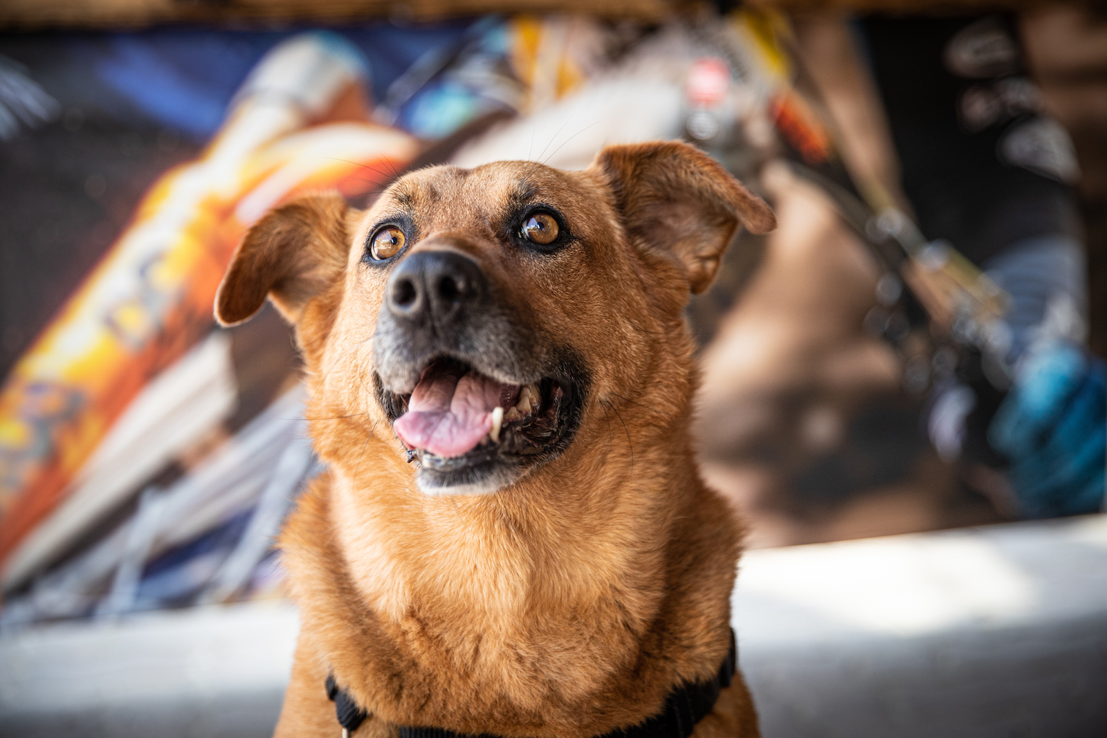Molly the shepherd mix hanging out in the shade of the Bell Helmets booth.