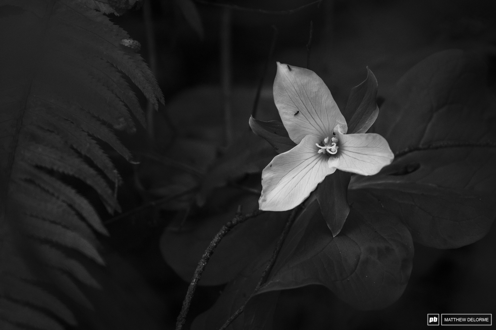 The little things count too. Spring Trillium Washington State.