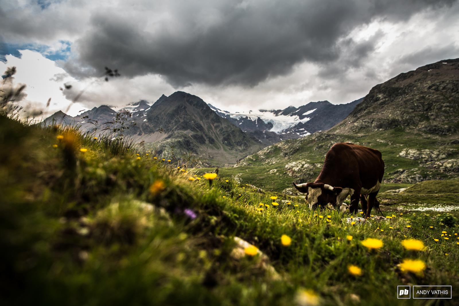 Cattle grazing between the peaks of the Italian-Swiss border.