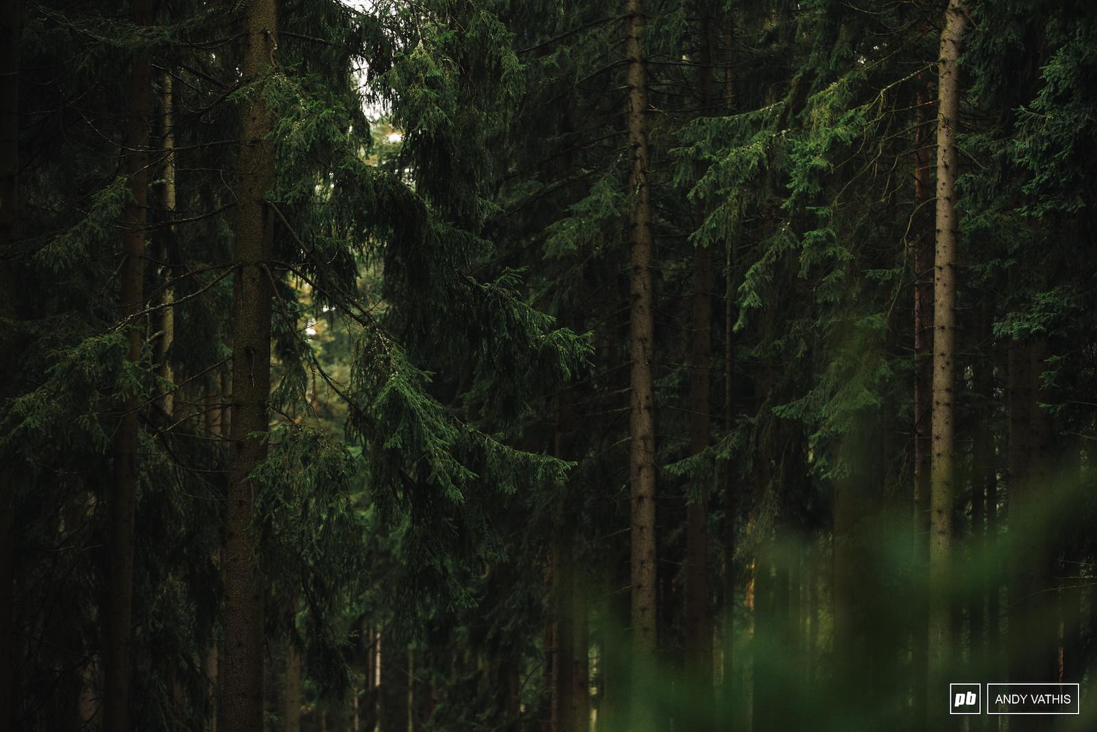 Thick Nove Mesto pine.